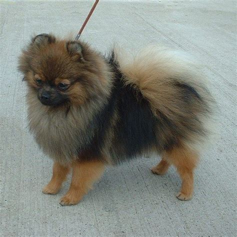 breeds similar to pomeranian 19 best images about mixed breeds on show legs and