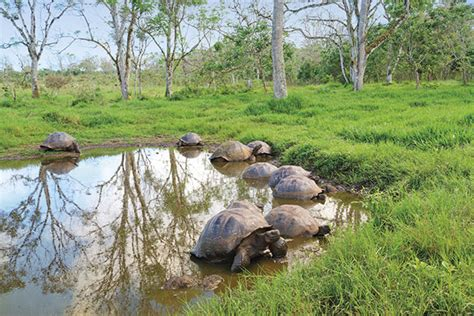 Galapagos Tortoise Facts and Pictures   Reptile Fact