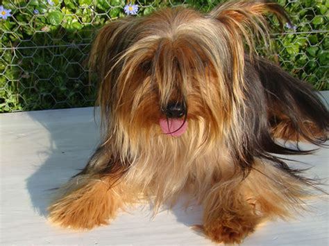 yorkies for sale cape town terrier puppies for sale in cape town by yorkie puppy breeders