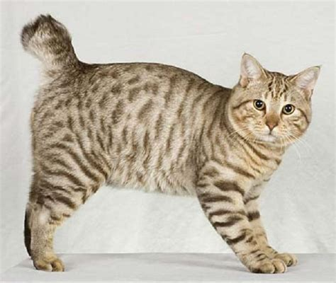 Healthiana: American Bobtail Cats