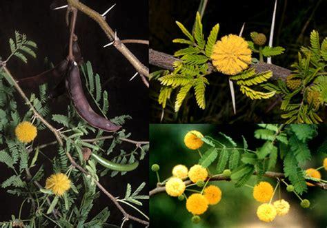 gaggia fiore piante e preziose seconda parte