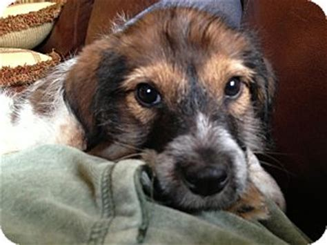 golden retriever and pointer mix finn adopted puppy minnetonka mn german wirehaired pointer golden retriever mix
