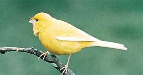 Perawatan Sk Ii Untuk Pemula perawatan burung kenari untuk pemula alfatihah herbal 2