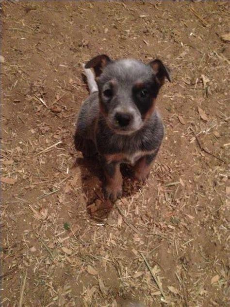 blue heeler puppies for sale in ohio blue heeler purebred puppies breeds picture
