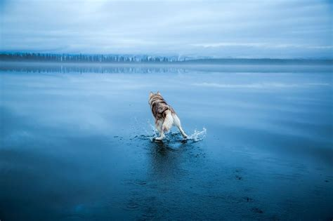 film frozen lake magical photos of siberian huskies playing on a mirror