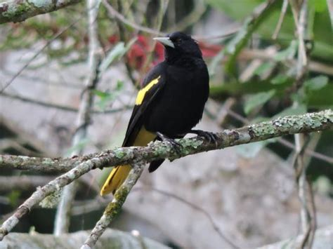Black And Yellow Bird Picture Of Ecotours De Mexico
