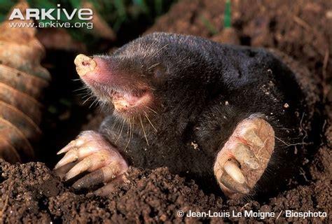mole videos photos and facts talpa europaea arkive