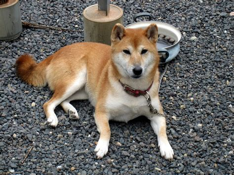 shiba dogs shiba inu information for breeds picture