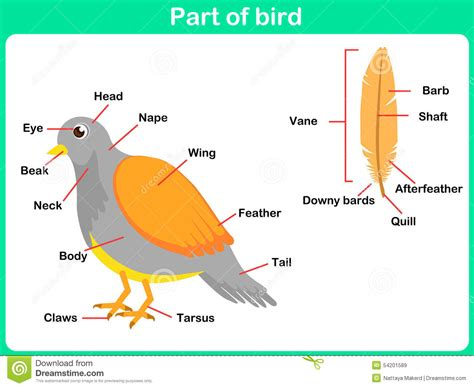 leaning parts of bird for kids worksheet stock vector
