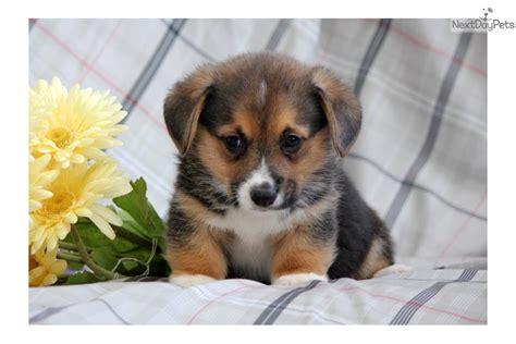 corgi puppies near me corgi puppy for sale near lancaster pennsylvania e8b9c276 fd21