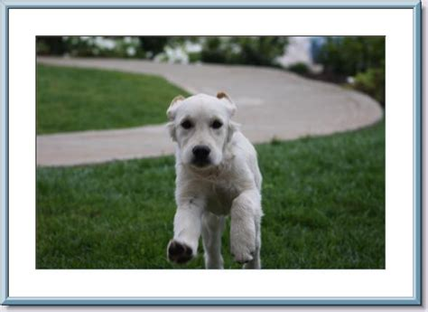 golden retriever breeder san diego white golden retriever puppies san diego photo