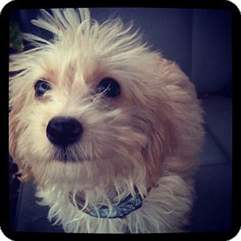 yorkie rescue louisville ben adopted puppy louisville ky yorkie terrier poodle miniature mix