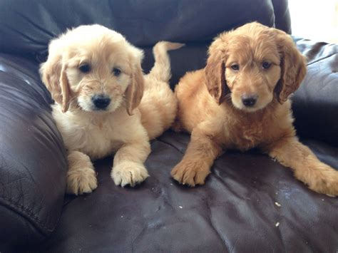 retriever doodle puppies for sale uk beautiful goldendoodle puppies doncaster south