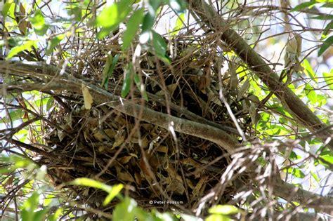 Do When You Build A Nest by Possum Nests The Possum And Bird
