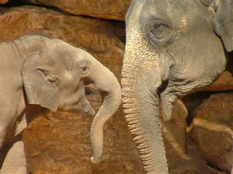 and elephant file asian elephant and baby jpg