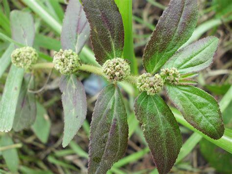 Aneka Resep Tanaman Obat Mujarab Untuk Mengobati Asam Urat 18 manfaat dan khasiat daun patikan kebo untuk kesehatan
