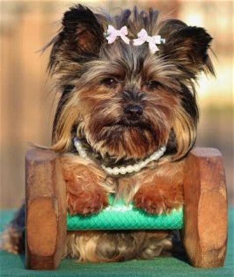 yorkie personality the terrier yorkie size doesn t matter canine habit