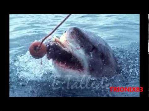 imagenes leones vs tiburones fotos tiburones asesinos atacando giant shark tiburon