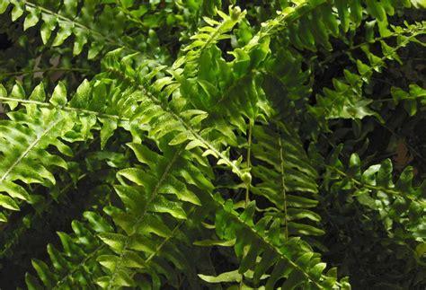 fern frost back yard biology sword fern 187 plants and algae 187 permanent exhibition