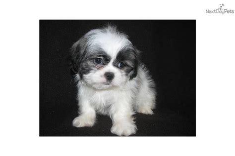 average age of shih tzu shih tzu puppy for sale near east tx 17b49548 29d1