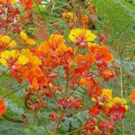 cadena de amor scientific name j 2 the flora of university of the philippines tacloban