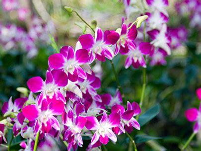 bunga anggrek klik tips