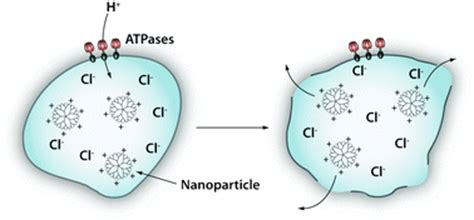 Proton Sponge by Strategies For The Intracellular Delivery Of Nanoparticles