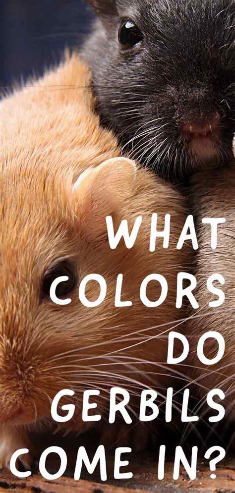 gerbil colors gerbil colors patterns and markings