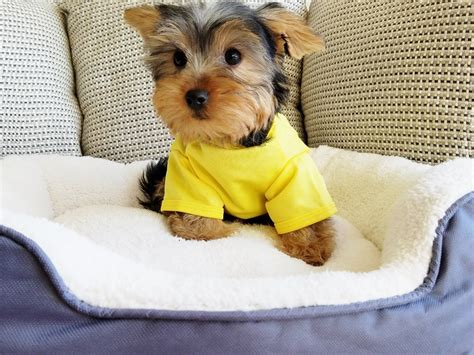 teacup yorkies for sale in san diego terrier puppies for sale san diego ca 270936