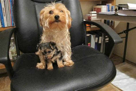 size of yorkie poo yorkie poo grown size breeds picture
