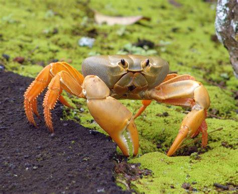 Scp 09 Crabs Pjm land crab pictorial