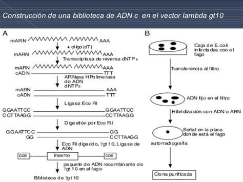 libreria genomica genotecas slide