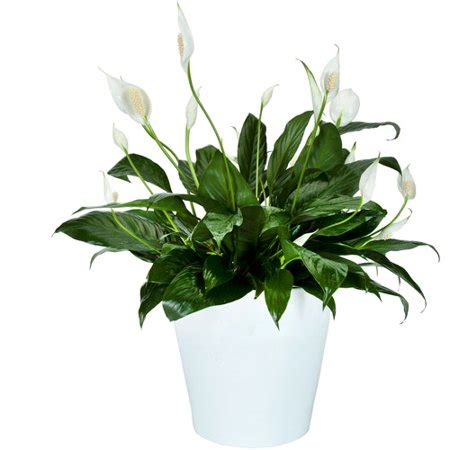 exotic angel plants  spathiphyllum  walmartcom