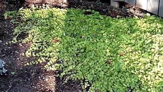 drought tolerant ground cover garden youtube