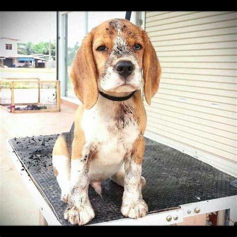 beagle puppy names oltre 1000 immagini su beagle names and pictures su cuccioli di beagle
