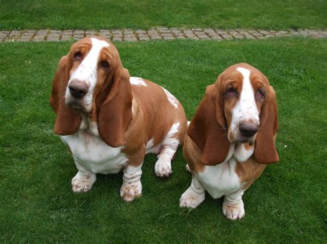 basset hound colors trying to figure out their color page 2 basset hounds