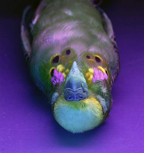 budgerigar under uv light photograph by science photo library