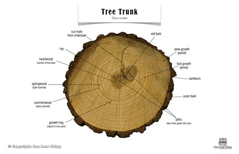 tree cross section diagram tree trunk anatomy poster one less thing