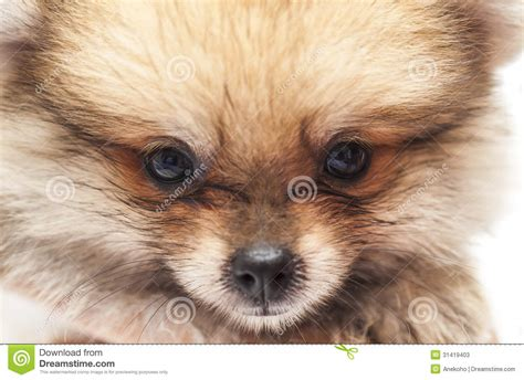 pictures of baby pomeranians baby pomeranian stock photos image 31419403