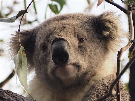 photo koala raymond island tree face  image