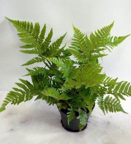 felce da vaso come coltivare schede di coltivazione di piante e fiori