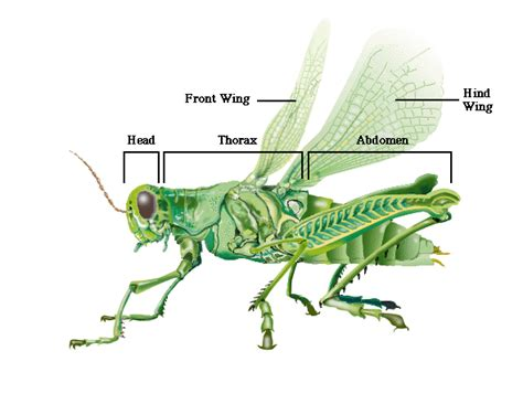 how many body sections do insects have grasshoppers