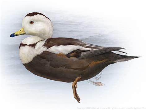 mary woodin england illustrator mallard ducks birds patrick lynch