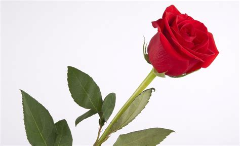 red rose love wallpapers wallpaper cave single red rose wallpapers wallpaper cave