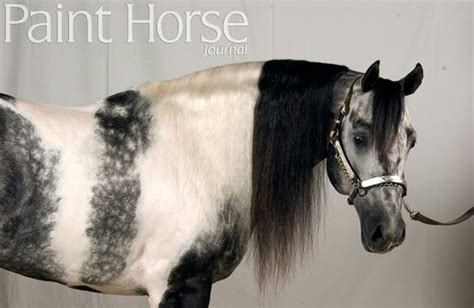 dappled grey paint what a wonderful combination omg what a gorgeous horses