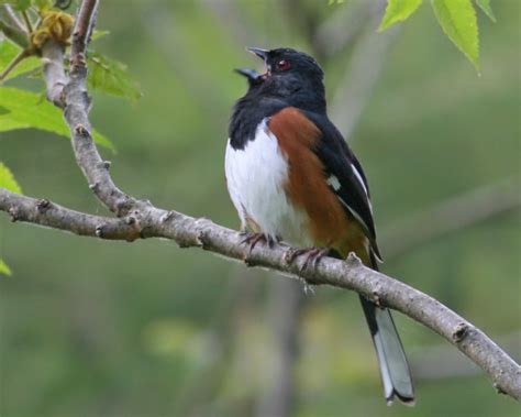 eastern towhee photos birdspix