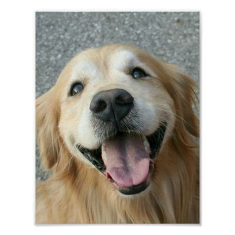 smiling golden retriever smiling golden retriever poster