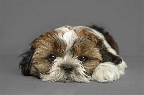 shih tzu photography shih tzu nikon rumors
