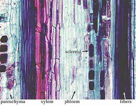 Longitudinal Section Of Stem by Plant Anatomy Structure Of Geranium Stems Roots Leaves