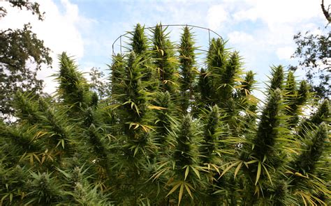 Humboldt County Search Humboldt County Approves Commercial Cannabis Farms News Thc Finder